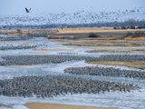Half a Million Sandhill Cranes Roosting on the Platte River