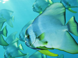 Hunting for Plankton, a School of Spadefish Hovers Near the Surface