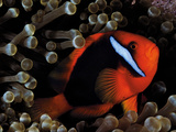 A Tomato Clownfish Floats Among Anemone Tentacles Colored By Algae