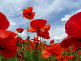 A Field of Red Poppies in Bloom under a Cloud-Filled Sky Photographic Print