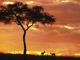 Gazelle Grazing Under Acacia Tree at Sunset, Maasai Mara, Kenya