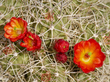 Claret Cup or Mojave Mound Cactus in Bloom, Mojave National Preserve, California, Usa