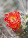 Flowering Claret Cup Cactus, Joshua Tree National Park, California, Usa