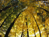 Sugar Maple Trees Display Autumn Foliage