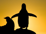 Silhouetted Gentoo Penguin and Chick Backlit at Sunset