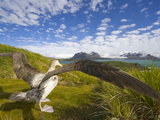 Wandering Albatross with Spread Wings Preparing to Take Flight