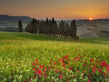 Italy, Tuscany, Siena District, Orcia Valley, Cypress on the Hill Near San Quirico D'Orcia