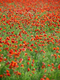 Italy, Umbria, Perugia District, Poppy Field