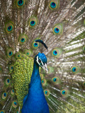 England, Kent, Wingham, Peacock Displaying at Wingham Wildlife Park