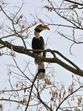 A Giant Hornbill in the Tropical Rainforests of India and Asia, One of the Largest and Most Distinc