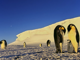 Emperor Penguin Family, Weddell Sea, Antarctica