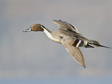 Northern Pintail (Anas Acuta) Flying in Victoria, BC, Canada