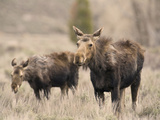 Moose Adult and Calf (Alces Alces), Grand Teton National Park, Wyoming, USA