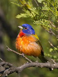 Painted Bunting (Passerina Ciris) Male, Big Bend National Park, Texas, USA