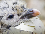 Lesser Black-Backed Gull Chick Hatching, Walney Island, United Kingdom
