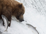 Grizzly Bear (Ursus Arctos Horribilis) Trying to Catch Salmon as They Leap the Falls