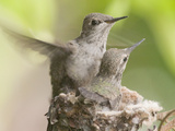 Anna's Hummingbird (Calypte Anna) Trying Out its New Wings from the Nest, Irvine, California