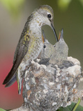Female Anna's Hummingbird (Calypte Anna) Feeding Her Chicks in their Tiny Nest, Irvine