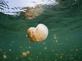 Buy Mastigias Jellyfish in Jellyfish Lake (Mastigias Papua Etpisonii), Micronesia, Palau at AllPosters.com
