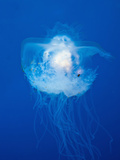 Buy Crown Jellyfish (Netrostoma Setouchina), Blue Corner, Micronesia, Palau at AllPosters.com