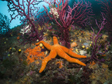Buy Red Starfish on a Coral Reef (Echinaster Sepositus), Cap De Creus, Costa Brava, Spain at AllPosters.com