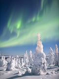 Aurora Borealis or Northern Lights over a Snow-Loaded Boreal Taigforest of Black Spruce Trees
