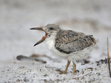 Black Skimmer (Rynchops Niger) Chick Calling on the Beach