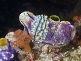 Warty Nudibranch (Phyllidia Elegans) on a Golden Tunicate, Raja Ampat, West Papua, Indonesia