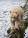 Kermode or Spirit Black Bear Variety (Ursus Americanus Kermodei) Walking on a Log