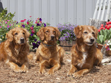 Golden Retrievers Sitting in a Garden, MR D2737