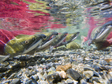 Red Salmon or Sockeye Salmon in Spawning Phase (Red Body and Green Head)