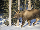 Young Moose (Alces Alces) in Boreal Forest, Fairbanks, Alaska, USA