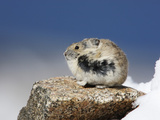 Alpine Pika (Ochotona Alpina), Rocky Mountains, North America