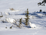 Willow Ptarmigan in Winter White Plumage (Lagopus Lagopus), Alaska, USA
