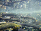 Pink Salmon Spawn in a Stream (Oncorhynchus Gorbuscha), Fairbanks, Alaska, USA