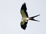 Swallow-Tailed Kite Flying with Lizard Prey in its Bill and Talons (Elanoides Forficatus)