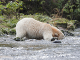 Kermode or Spirit Black Bear Variety (Ursus Americanus Kermodei) Fishing for Salmon