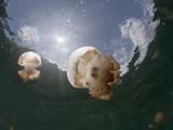 Buy Mastigias Jellyfish (Mastigias Papua Etpisonii), Jellyfish Lake, Micronesia, Palau at AllPosters.com