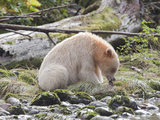 Kermode or Spirit Bear Variety of Black Bear (Ursus Americanus Kermodei) Eating Salmon