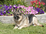 Large, Alert German Shepherd Dog Sitting in a Yard