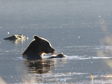 Coastal Brown Bear (Ursus Horribilis) Sitting in a Stream Eating a Salmon it Just Caught