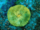 Fluorescing Mushroom Coral (Ctenactis Echinata), Komodo National Park, Indian Ocean, Indonesia