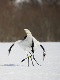 Japanese Cranes, Grus Japonensis, also known as the Red-Crowned Crane