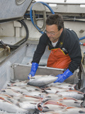 Commercial Fisherman Packing His Catch of Sockeye Salmon (Oncorhynchus Nerka) in Ice