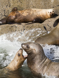 Steller Sea Lions (Eumetopias Jubatus), Easterly Island, Ernest Sound, Tongass National Forest