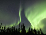 Aurora Borealis or Northern Lights over Spruce Trees, Arctic Taiga, Alaska, USA
