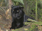 Black Jaguar or Panther (Panthera Onca), Belize