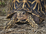 Indian Star Tortoise (Geochelone Elegans), Captive