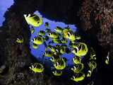 Schooling Raccoon Butterflyfish (Chaetodon Lunula) Off the Island of Lanai, Hawaii, USA