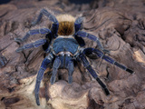 Greenbottle Blue Tarantula (Cromatopelma Cyaneopubescens) Captive, Native to Venezuela